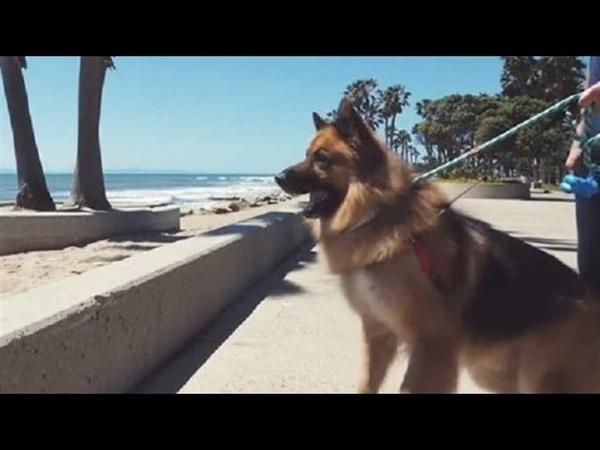 Бездомный пес просидевший на цепи много лет заплакал от счастья когда впервые увидел океан