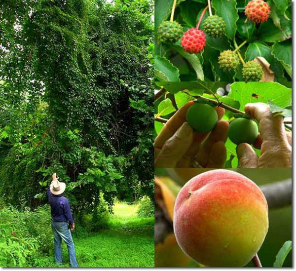 Интересно. Фруктовое чудо в Нью-Йорке: 40 видов плодов на одном дереве