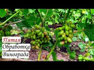 Пятая обработка винограда