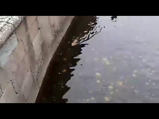 В Петергофе мужчина вытащил из воды свалившуюся в фонтан лису