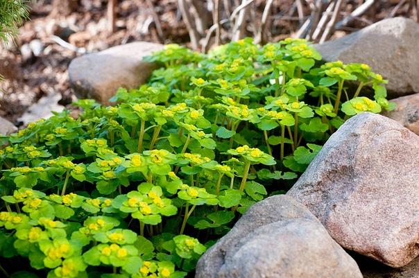 СЕЛЕЗЕНОЧНИК Латинское название селезёночника хризосплениум, имеет два корня: хризос золотой, и сплин селезёнка. Первый отражает оттенок, присущий его цветкам и ярко-окрашенным прицветным