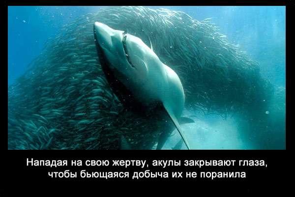 Valteya - Интересные факты о акулах / Хищники морей.(Видео. Фото) - Страница 2 IjDUGWezmJ0