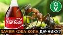 Если в теплице завелись муравьи - напоите их кока-колой! И вот зачем