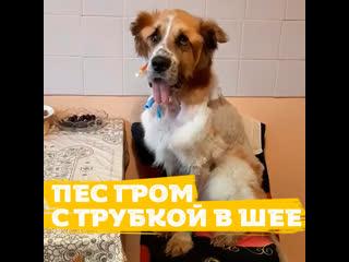 Собаку Грома с большой опухолью предали хозяева