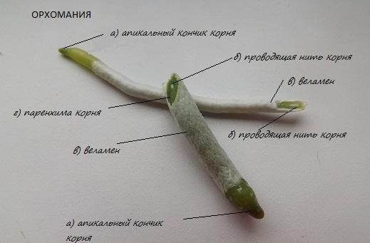 Строение корня фвленопсиса. Фото из интернета