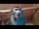 شاهد شدة غضب القرد من الانسان وكيف تسير الا