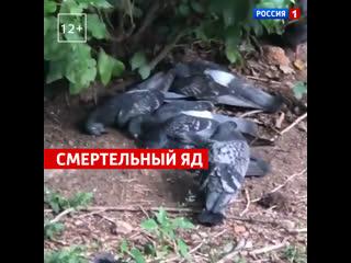 В Москве массово погибают голуби: неизвестные травят птиц ядом  Россия 1