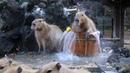みんなで入浴 カピバラ温泉~桶風呂~始めました! 2017.12.5(埼玉県こども動物自然公園 公式/SaitamaChildrensZoo official )capybara onsen