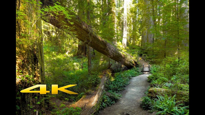 Redwood The Boy Scout Tree Trail 4K Virtual Walk