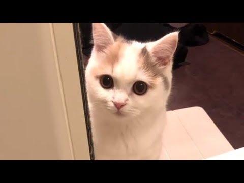 Lovely Munchkin Cat Always Wait For Owner