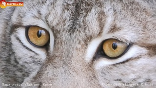 Taigan cats - cheetah, cougar, lynxes