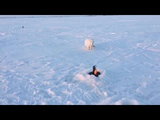 Интересно, но небезопасно: в посёлки Ямальского района всё чаще стали наведываться песцы