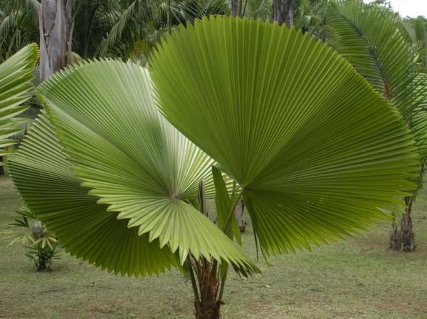 Ликуалы большие Ликуалы большие - кустообразные пальмы. Волокнистые основания листьев покрывают ствол ликуалы. Листья ликуалы большой: длиной от 60 до 1 м, расположенные веером пластинки так