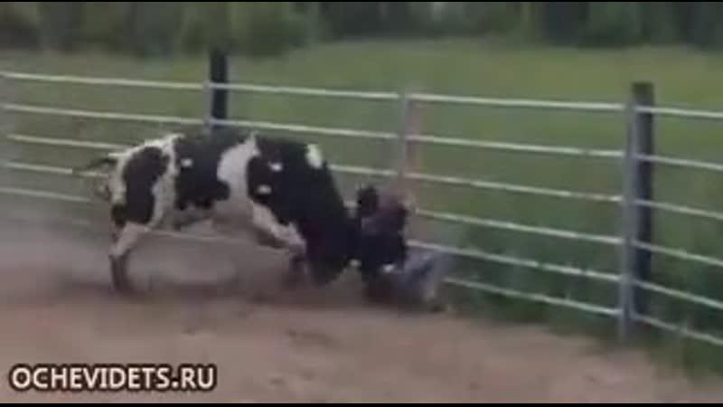Пьяный подразнил быка. Результат.