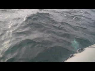 Стая дельфинов подошла к рыбакам в Баренцевом море.