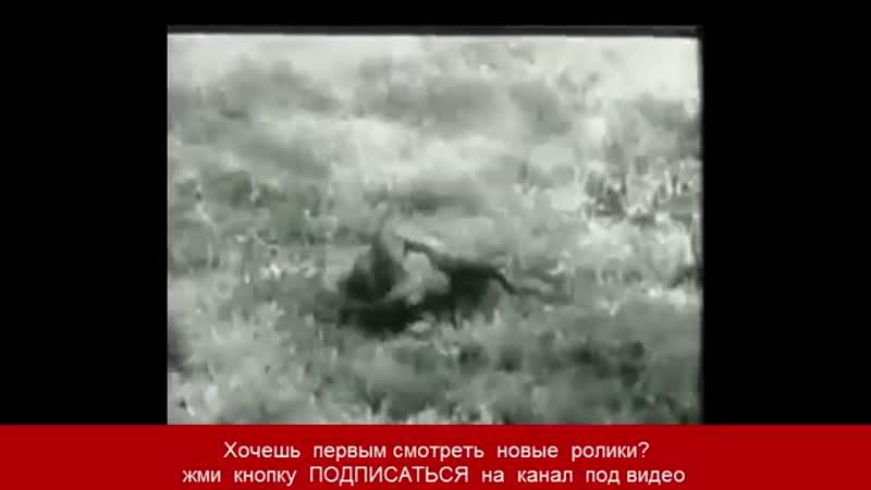 Огромный питон убивает пантеру