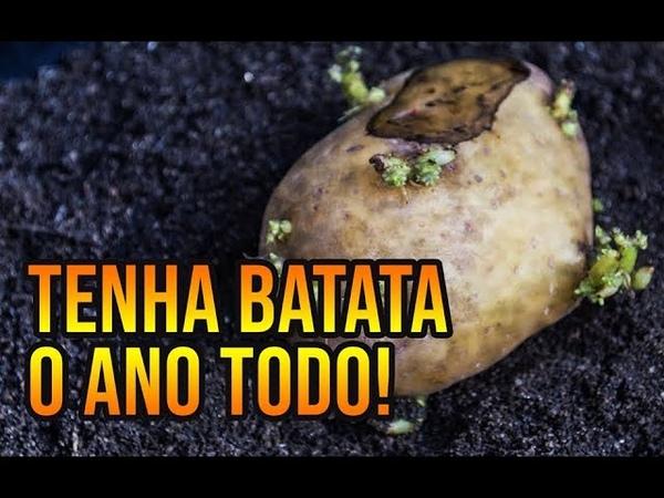 BATATAS O ANO TODO CULTIVO EM VASOS