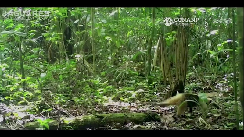 Белый пегий канюк лат Pseudastur albicollis атакует мексиканского тамандуа лат Tamandua mexicana