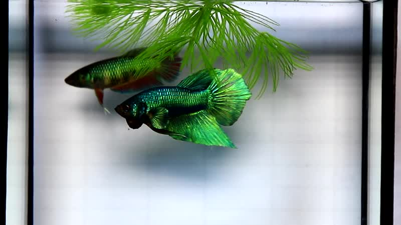 แบ่งปลากัดสวยๆ8คู่สวยๆ ปลากัดทองแดง ปลากัดgreenshadow ปลากัดหูช้าง ปลากัดแฟนซีHellboyเนื้อแดง mp4