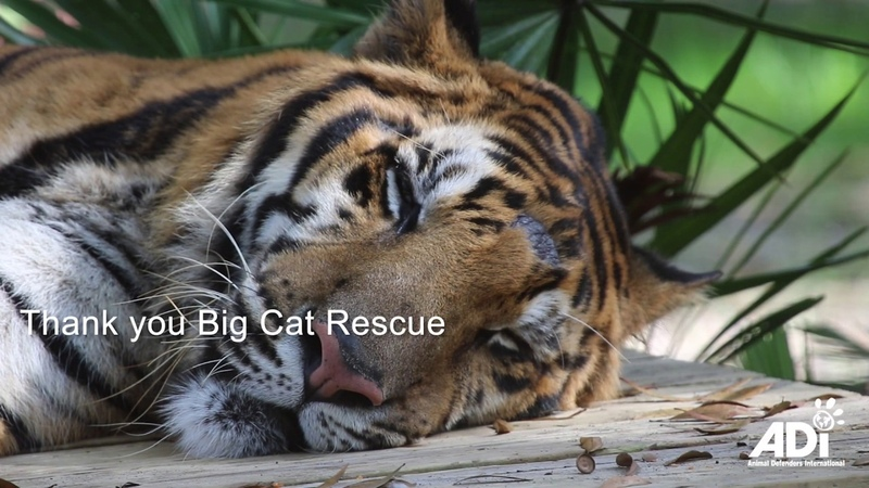 Forever home for ex circus tigers Max Kimba and Simba