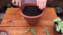 Suculenta - Como fazer muda do Rabo de Burro ( Sedum Morganianum Sedum Burrito )