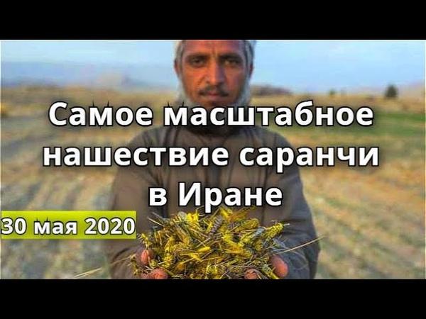 Иран саранча 2020 Самое масштабное нашествие саранчи за полвека