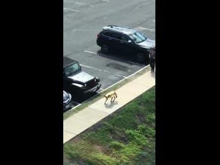 When your neighbors walk their dog (spotmini)