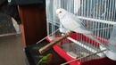 Обустроила своим любимцам клетку Волнистые попугаи очень активные
