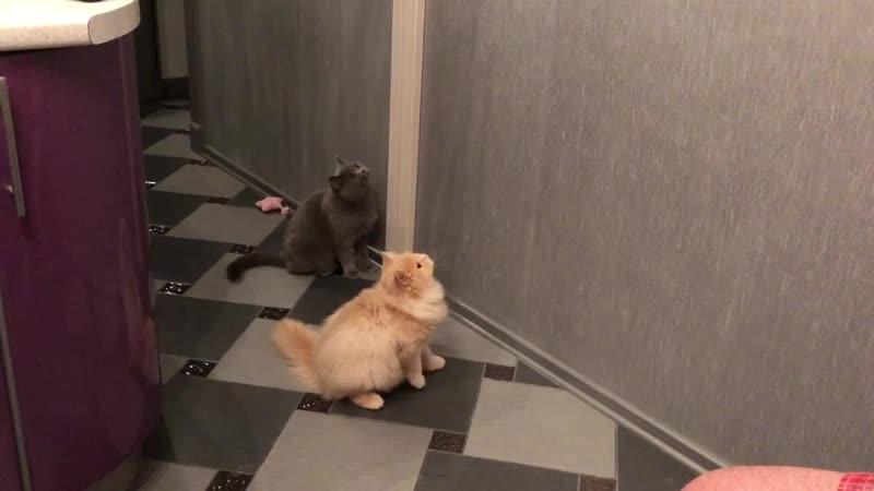 Британцы и Глав-кот, питомник Plush Blue Ray. Tel. 79213305155