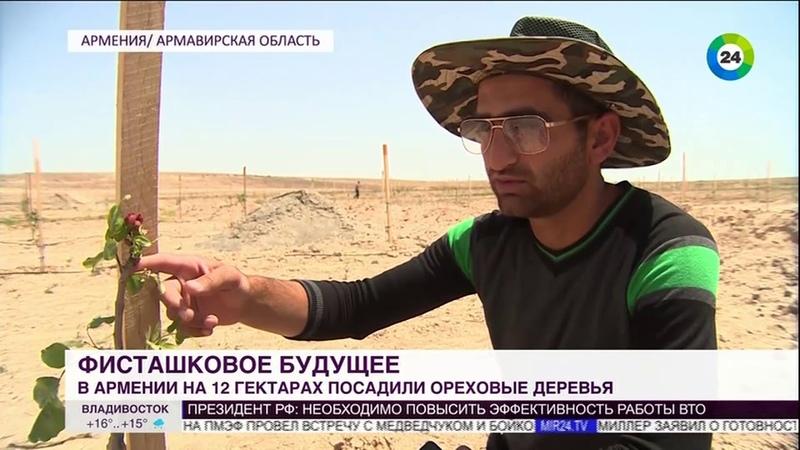 Фисташковое будущее ореховые саженцы приживаются в Армении