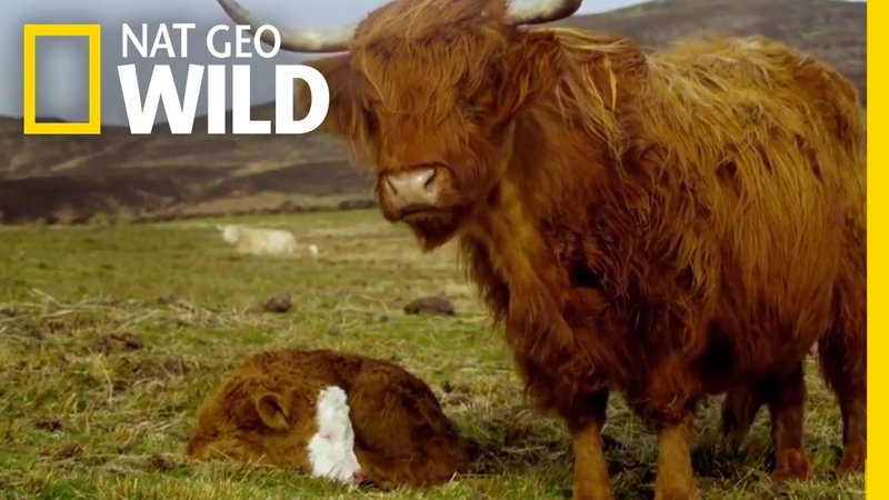 Highland Cattle Hide and Seek Animal Moms