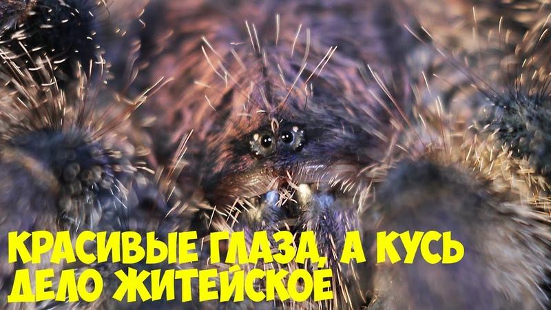 Пауки и Котики Brachypelma Chromatopelma Avicularia Grammostola Acanthoscurria