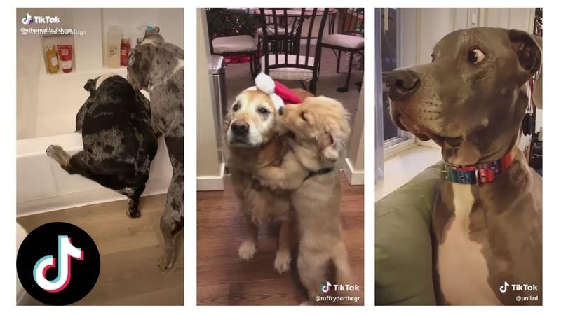 TikTok's Goodest Boys Dogs of Tik Tok Funny Memes Compilation