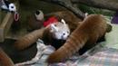 Baby Red Panda Mischief