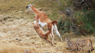 Puma takes on guanaco three times her weight | Seven Worlds, One Planet | BBC Earth