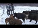 Дичеразведение Жизнь дикого кабана Россия ТК Охота и Рыбалка 2009