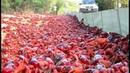 La fantastique migration des crabes rouges - ZAPPING SAUVAGE