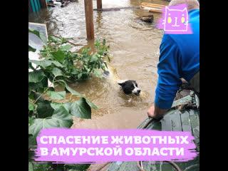 Спасение животных от наводнения в Амурской области