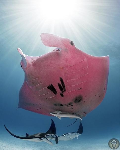 Загадки природы У природы много тайн и загадок, о некоторых пойдёт речь. Розовый скат Загадки природы В 2020 году Кристиан Лейн нырнул у Большого Барьерного рифа и сфотографировал ската. Когда