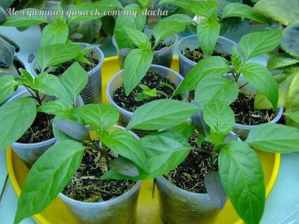 Когда высаживать перец на рассаду Сладкий болгарский перец является одним из самых распространенных овощных культур на наших огородах. Его выращивание не такое уж сложное как может показаться с