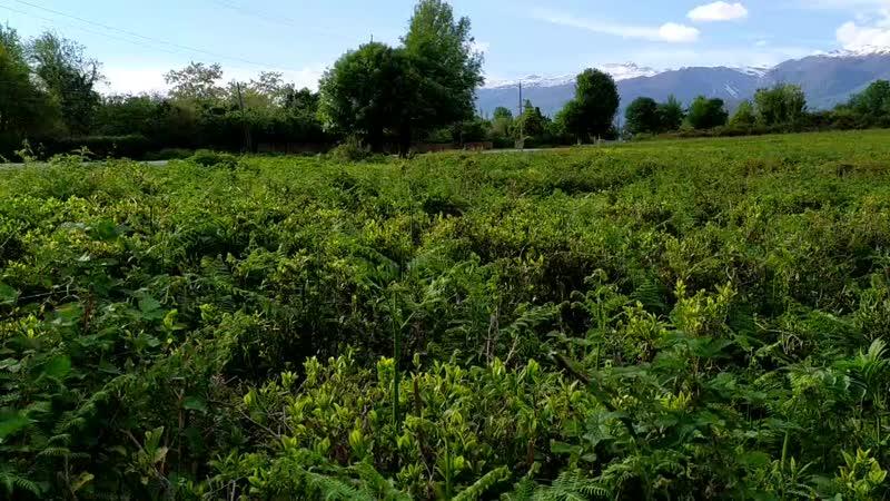 Чайная плантация в Лыхны