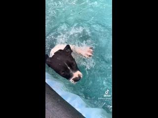 Video by TORO BRAVO питомник АПБТ