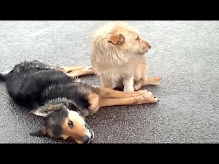 Собака не покидает свою мёртвую подругу ...