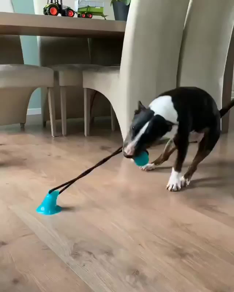 Бультерьер и домашний тренажёр для собак