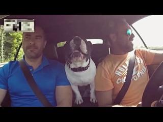 Собака ржачно поёт в машине (Ржака, Прикол, Смешное)