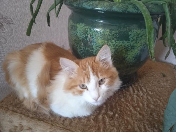 В СНТ Рябинушка потерялся рыжий кот с красной шлей...