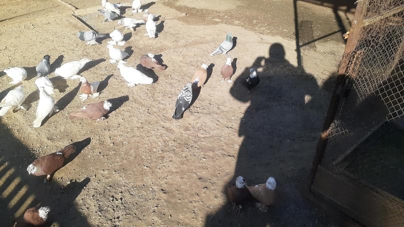 Продаю голубей.Цену уточняйте в | Объявления Орска и Новотроицка №18418