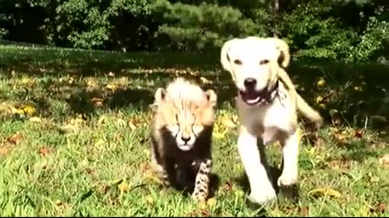Cheetah cub grows up together with a puppy Перевод: Гепард детеныш растет вместе со щенком
