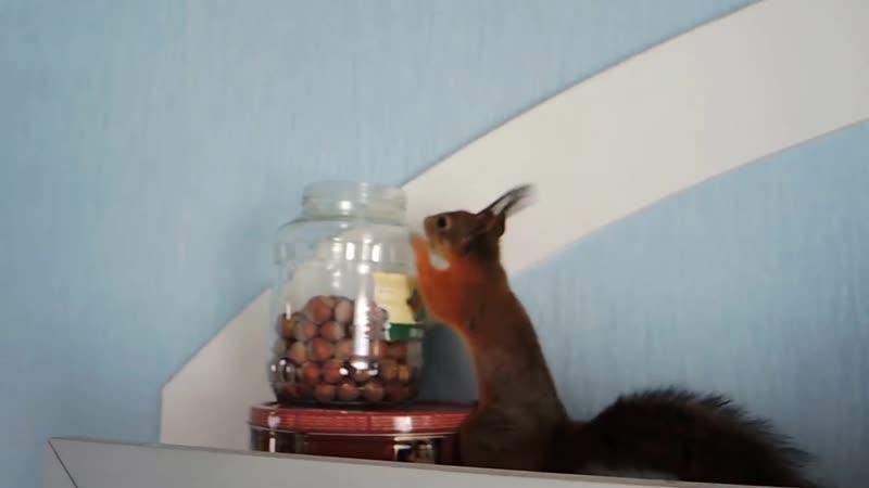 Большие гонки белок. Squirrels Noble and Posh. Big races