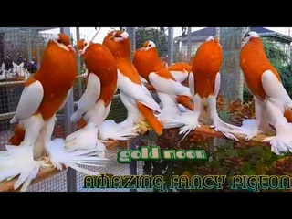 Top 20 Most Beautiful Fancy Pigeon Collection | Amazing Exotic Fancy Pigeon Breeds | Fancy Pigeon